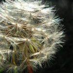 Alergia na pierze